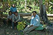 Mato Grosso State, Brazil. Aldeia Kenpo (Kayapo). Banana plantation. Waiwai Txucarramae, (other Kayapo man), Kiabiati Kayapo, Yabuti Metuktire