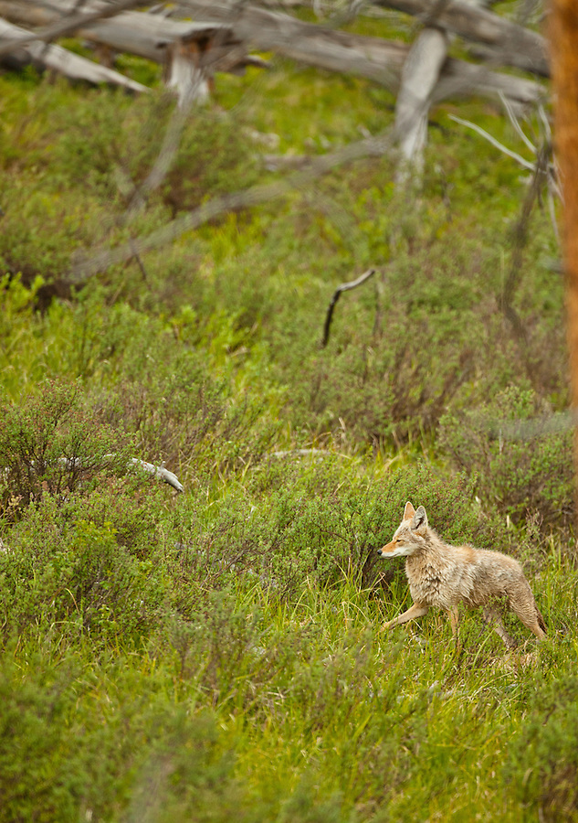 This coyote wanders through tall grass in its search for prey.