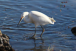 Snowy egret fishing in tidepool