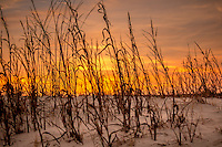 Sea Oats in the sand dunes at sunset, Jekyll Island Georgia.