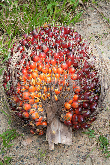 A close-up of a fresh fruit bunch (FFB) of oil palm recently cut from a tree. The Sindora Palm Oil Plantation, owned by Kulim, is green certified by the Roundtable on Sustainable Palm Oil (RSPO) for its environmental, economic, and socially sustainable practices. Johor Bahru, Malaysia