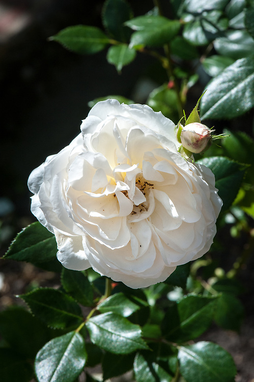 Rosa 'Notre-dame de Calais', mid June. A climbing rose with fragrant, semi-double creamy-white flowers.
