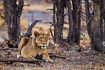 African Lion (Panthera leo) female, Mudumu National Park, Namibia