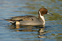 Northern Pintail - Anas acuta - male