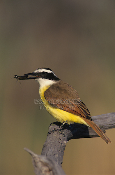 Great Kiskadee, Pitangus sulphuratus, adult with dragonfly larvae prey, Willacy County, Rio Grande Valley, Texas, USA