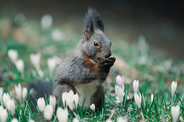 Red squirrel (Sciurus vulgaris), adult black phase among Spring Crocus (Crocus vernus), Switzerland