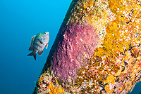 male sergeant major guarding eggs, Abudefduf saxatilis, Bonaire, ABC Islands, Netherlands Antilles, Caribbean Sea, Atlantic Ocean