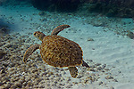 A Hawksbill turtle swims off the coast of Cancun, Mexico.