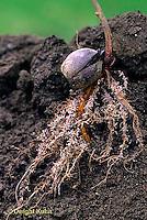 TT18-052z  Oak - acorn germinating, fibrous roots, soil profile - Quercus spp.