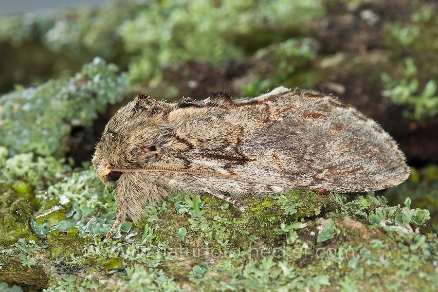 Eichen-Zahnspinner, Großer Eichen-Zahnspinner, Eichenzahnspinner, Zahnspinner, Peridea anceps, Notodonta anceps, Peridea trepida, Notodonta trepida, Great Prominent, Notodontidae