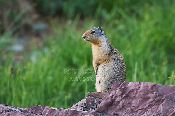 Columbian Ground Squirrel,Spermophilus columbianus, Glacier National Park, Montana, USA, July 2007