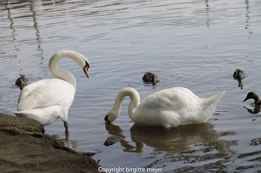 Swans and ducks being fed by the river bank.