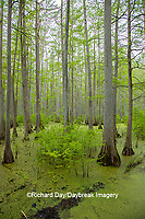 63895-14607 Bald Cypress trees (Taxodium distichum) Heron Pond Little Black Slough, Johnson Co. IL