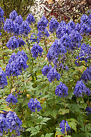 Aconitum carmichaelii 'Arendsii' in blue fall flower