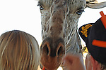 Feeding the Giraffe.