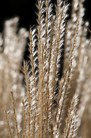 Maiden Grass (Miscanthus sinensis 'Nippon') silver backlit grass in meadow garden