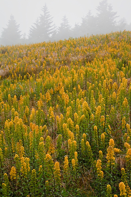 Roan Mountain Goldenrod (Solidago roanensis) in fog