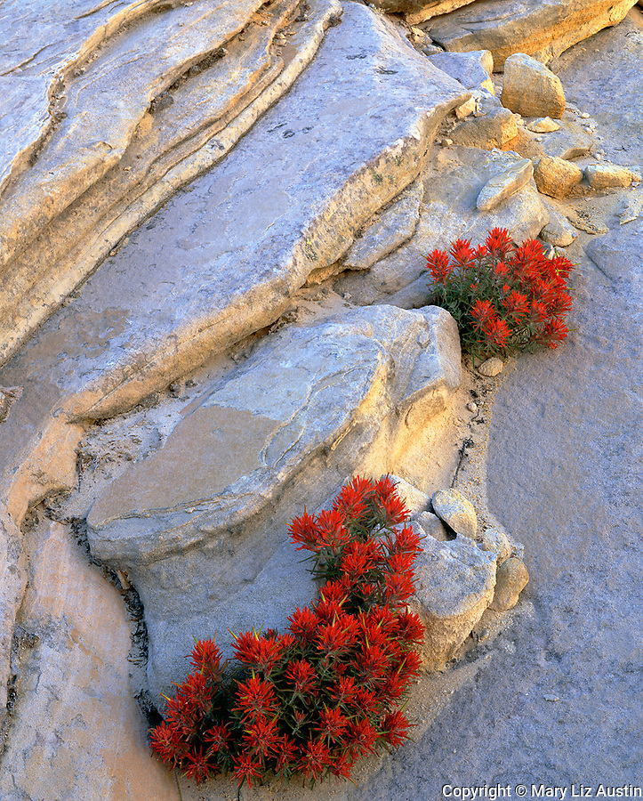 Zion National Park, UT  <br /> Slickrock Paintbrush (Castilleja scabrida) growing in the crevices of Navajo Sandstone in Clear Creek Canyon