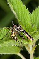 Höcker-Habichtsfliege, Höckerhabichtsfliege, Habichtsfliege, Raubfliege mit Beute, Dioctria rufipes, Common Red-legged Robberfly, robber-fly, Raubfliegen, Mordfliegen, Asilidae, robberflies, robber flies