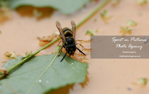 A Common Wasp on a drinking some sugar water