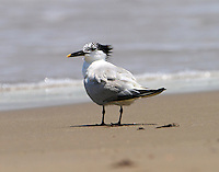 Sandwich tern in post-breeding plumage