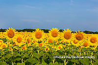 63801-07604 Sunflower field Sam Parr State Park Jasper County, IL