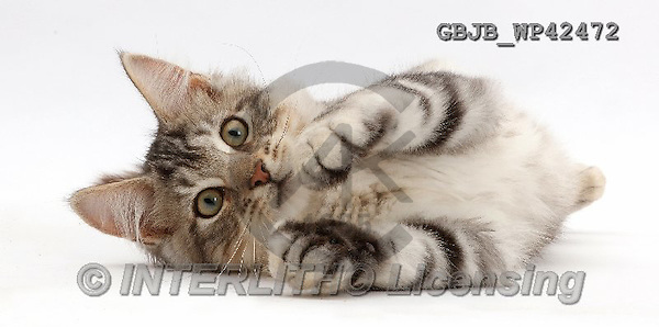 Kim, ANIMALS, REALISTISCHE TIERE, ANIMALES REALISTICOS, fondless, photos,+Silver tabby kitten, Loki, 3 months old, lying on his side,++++,GBJBWP42472,#a#