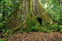 Kapok tree (Ceiba pentandra), Aerial roots, Ecuador, South America