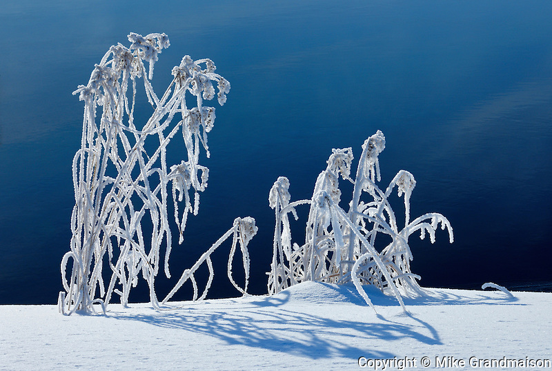 Hoarfrost covered grasses along Jessica Lake<br /> Whiteshell Provincial Park<br /> Manitoba<br /> Canada