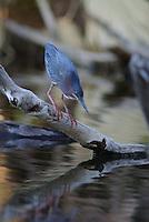 Green Heron Hunts for fish.
