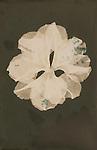 Lumen print of Azalea cluster