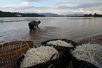 A man is cleaning beansprout in a bank of the Mekong river at Chiang Khong, Thailand-2010