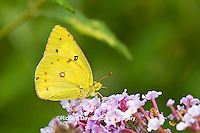 03074-00501 Orange Sulphur (Colias eurytheme) butterfly on Butterfly Bush (Buddleia davidii) Marion Co., IL