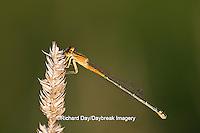 06329-00202 Eastern Forktail (Ischnura verticalis)  damselfly immature female, Marion Co.IL