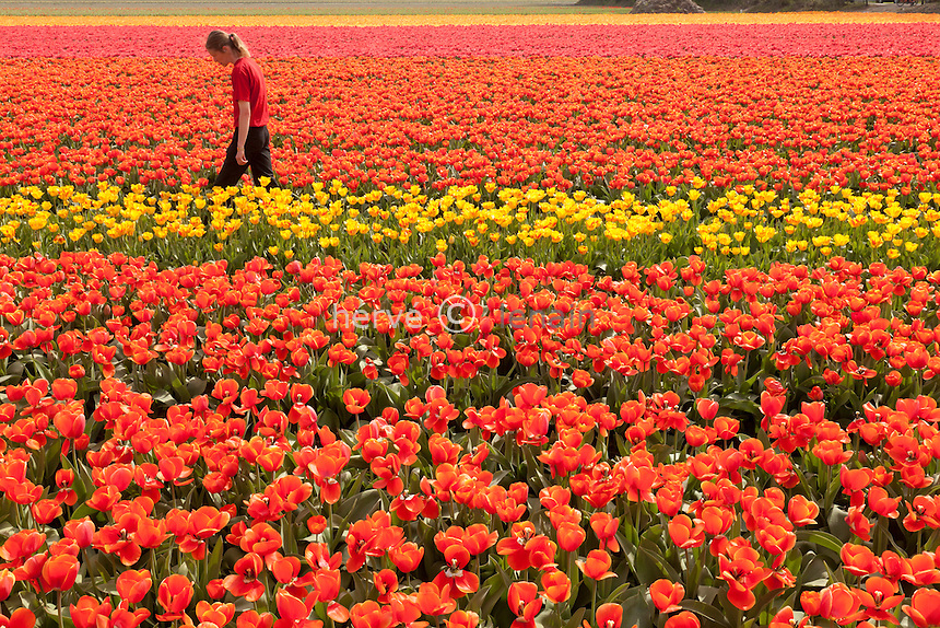 """Hollande, région des champs de fleurs, Lisse, champs de tulipes à perte de vue, ici controle sanitaire pour détecter les tulipes atteintes du virus du feu de la tulipe qui sont arrachées sur le champ, certain cultivar sont peu touché comme ici // Holland, """"Dune and Bulb Region"""" in April, Lisse, here, fields of tulips, sanitary control to detect virus desease in tulips."""