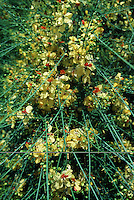 Detail close up of branches on a Palo Verde tree showing yellow flowers. California.