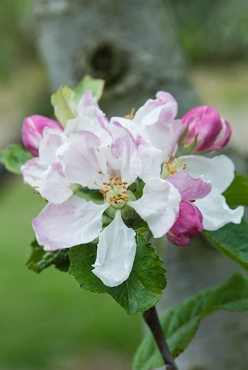 Blossom of Apple 'Allen's Everlasting', early May. An Irish dessert apple recorded in 1864 by nurseryman Thomas Rivers. Perhaps derived from 'Sturmer Pippin'.
