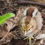 Oahu chick - one of many across hawaii