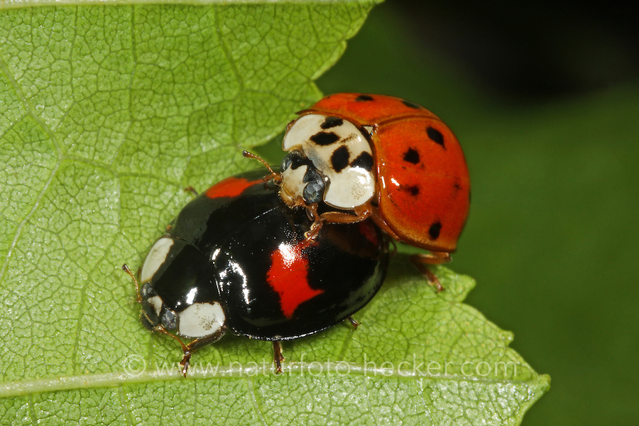 Asiatischer Marienkäfer, Harlekin, Paarung, Kopulation, Harmonia axyridis, Asian lady beetle, Harlequin lady beetle, copulation, pairing