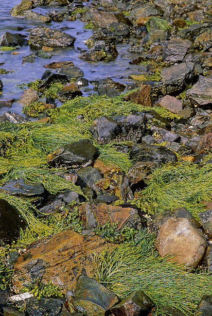 Tidal seeweed gets some sun at low tide, Penobscot Bay, Knox County, Maine