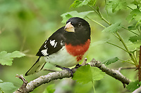Male Rose-breasted Grosbeak (Pheucticus ludovicianus).  Great Lakes Region, May.