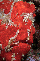 giant frogfish, Antennarius commerson, Black Rock, Kaanapali, Maui, Hawaii, Pacific Ocean