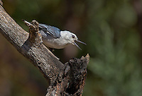 561250008 a wild white-breated nuthatch sitta carolinensis tenussuma perches on a log in madera canyon green valley arizona united states