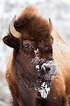 American Bison (Bison bison) female in winter, Yellowstone National Park, Wyoming