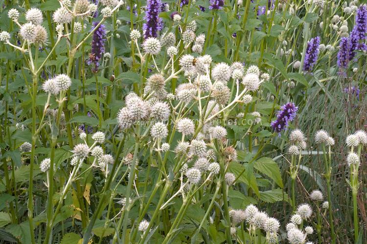 Agastache Black Adder + Eryngium yuccifolium planted together