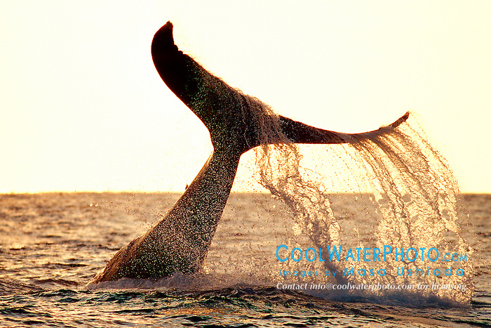 humpback whale lobtailing at sunset, Megaptera novaeangliae, Big Island, Hawaii, Pacific Ocean