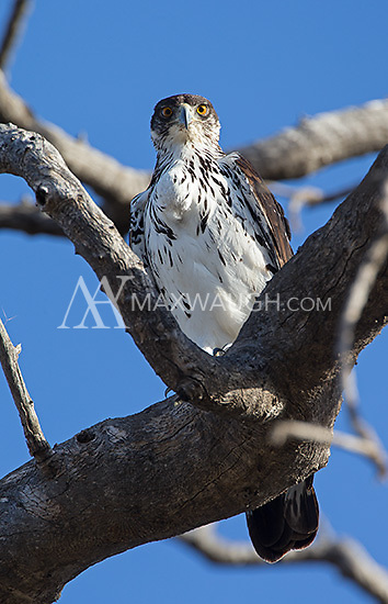 The African hawk-eagle is a slightly smaller eagle species found in southern Africa.