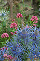 Blue Eryngium x oliverianum and Centranthus ruber (Red Valerian), mid July.