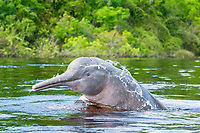 Amazon River Dolphins (Inia geoffrensis), Rio Negro. Amazonia, Brazil