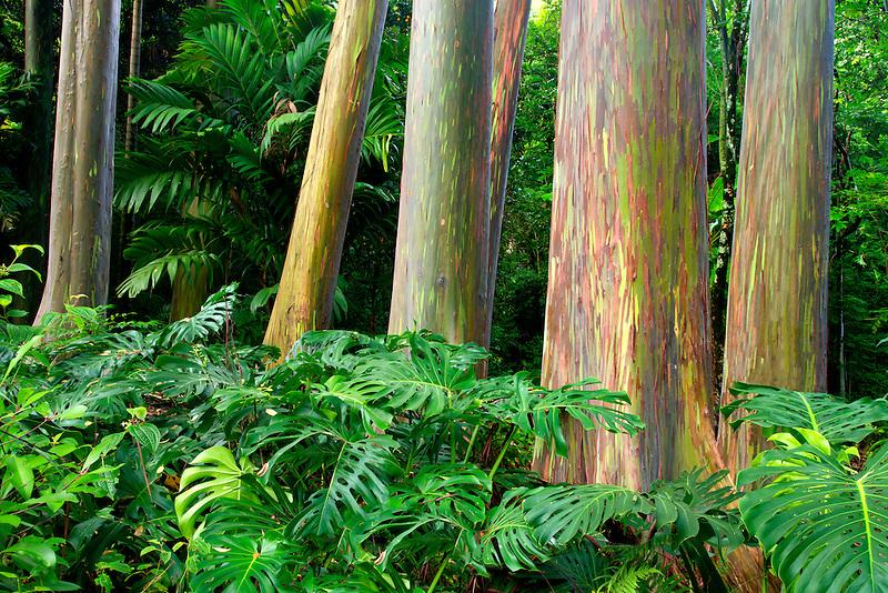 Rainbow Eucalyptus (Eucalyptus deglupta).and split leaf philodendron. Keanae Arboretum. Maui, Hawaii